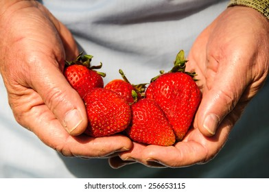 close-up picture of hands full of fresh strawberries