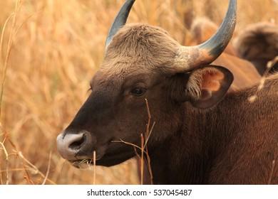 Closeup picture Indian bison photographed at Tadoba Andheri Tiger reserve