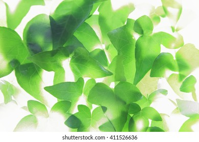 Closeup picture of ivy leaves