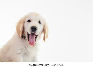 closeup picture of a panting golden labrador retriever puppy with mouth open and tongue exposed