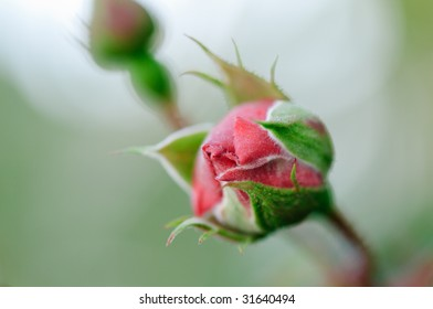 Close-up picture of rosebud that is not yet open.