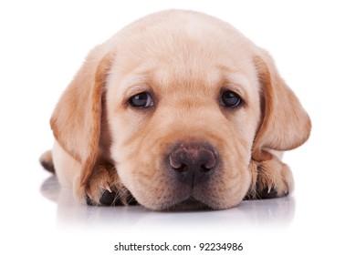closeup picture of a sad little labrador retriever puppy, on white background