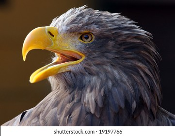 Close-up picture of a Screaming Eagle