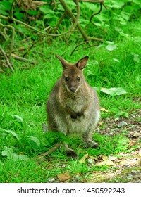 Close-up Pictures of Bennett's Wallaby