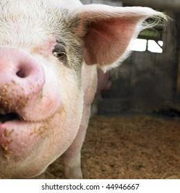 Closeup of pig in barn, facing the camera. Square shot.