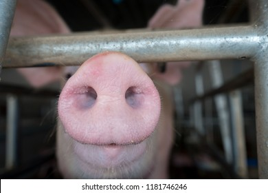 Pig Nose High Res Stock Images Shutterstock