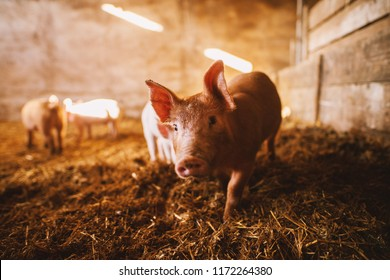 Close-up of a pig playing in a pigsty. Group of pigs.