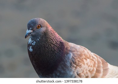 Closeup of a pigeon at the beach.