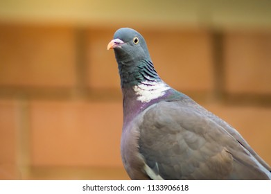 Close-up of a pigeon in front of a red brick wall in a city of Sicily