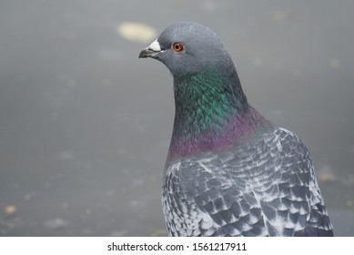 Closeup of a pigeons head with green and purple feathers.