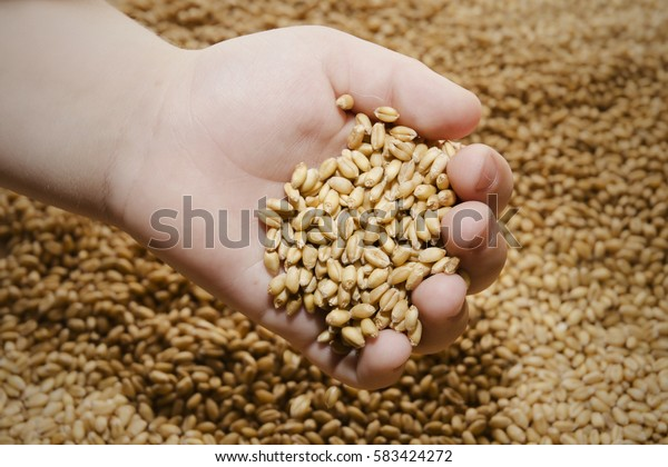 Closeup of a pile of wheat in hand