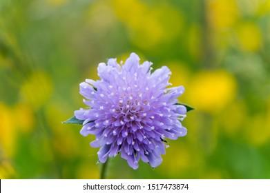 close-up of pincushion flower Scabiosa columbaria