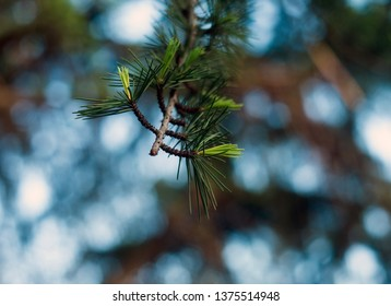 Closeup of the pine details