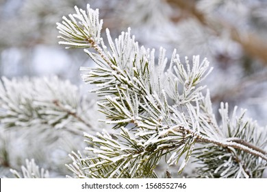 A close-up of pine needles covered with white frost. Season: Winter 2019. Location: Western Siberia.