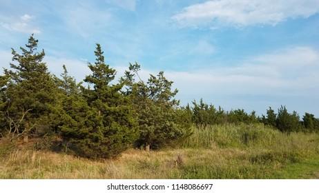 Closeup pine tree