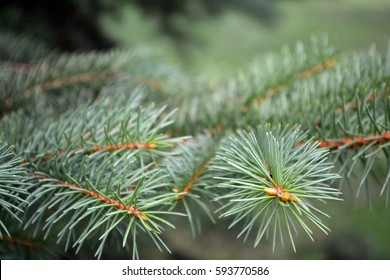 Close-up of a pine tree branch with warm green and yellow tones with artistic short depth of field with more pine needles out of focus in the foreground and background