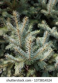 Closeup pine tree branches