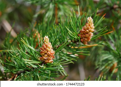 closeup of pine tree cone sprouts in the spring