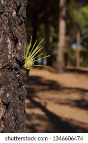 Closeup of Pine tree - pinus canariensis - of the canary islands, gran canaria