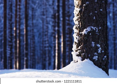 Close-up of pine trunk in winter forest. Focus on tree trunk.