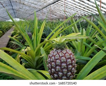 Closeup of pineapples /ananas growing on plantations in greenhouse in Ponta Delgada, capital city of Sao Miguel, Azores Island, Portugal. Azores are the only place in Europe to produce pineapples.
