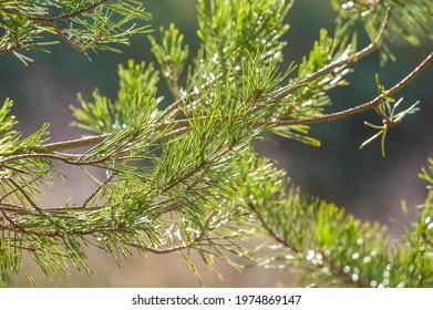 closeup of pineneedle in springtime sunlight