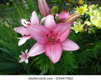 Close-up of pink asiatic  lily (Lilium hybridum) flower  in the garden in July.