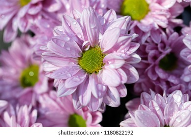 Close-up of pink aster flowers (Asteraceae) in the summer garden after the rain. Macro photography of nature.