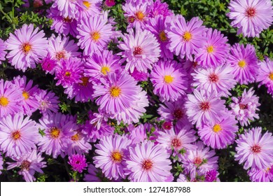 Closeup of pink aster flowers in the garden