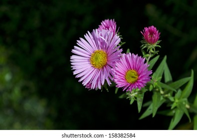 Closeup of pink aster flowers, in the Harrington's Pink variety.