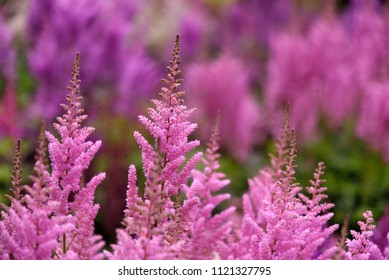 Closeup of pink astilbe plants, colorful vivid background, floral wallpaper