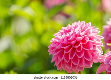 Close-up of a Pink Ball Dahlia (Asteraceae) Flower in the warm Morning Light.