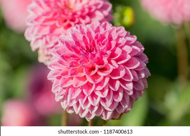 Close-up of Pink Ball Dahlia (Asteraceae) Flowers on a sunny Morning.