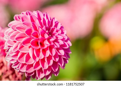Close-up of a Pink Ball Dahlia in Summertime.