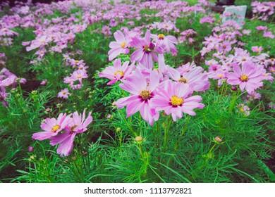 Closeup pink beautiful cosmos in meadow