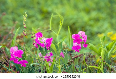 Closeup of a pink blooming perennial peavine or Lathyrus latifolius plant in a Dutch roadside. It is autumn and the flowers are already wilting.