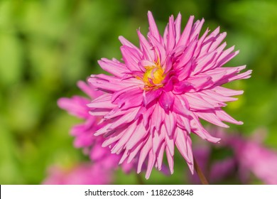 Close-up of a Pink Cactus Dahlia Flower in the Morning Light.