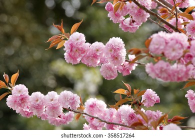 Close-up Pink Cherry Blossom in the Garden of Nijo Castle, Kyoto Japan