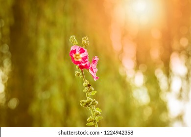 Closeup of a pink common hollyhock flower, Alcea rosea, an ornamental plant in the family Malvaceae. Bright colors, sunlight and lensflare