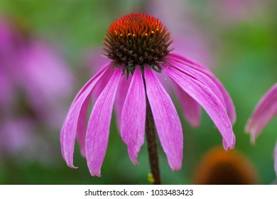 A closeup of a pink coneflower