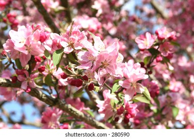 Close-up of pink Crabapple blossoms using shallow dof focusing on flower.