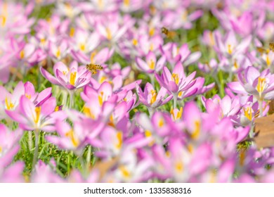 Close-up of Pink Crocuses on a sunny Day. Blooming Crocus on a Meadow. Flowering Crocuses. Pink Crocus in Spring. Growing Spring Flowers. Honeybees pollinate Crocuses in a Meadow.