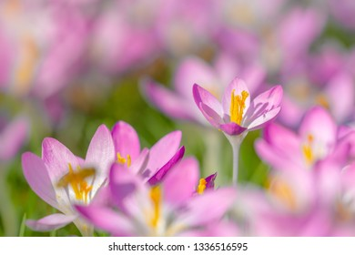 Close-up of Pink Crocuses on a sunny Day. Blooming Crocus on a Meadow. Flowering Crocuses. Pink Crocus in Spring. Growing Spring Flowers.