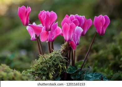closeup of pink cyclamen in a garden