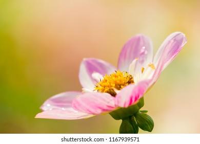 Close-up of a Pink Dahlia Dahlia Pooh (Collarette Dahlias) Flower in the Morning Light.