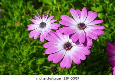 Closeup of pink daisies at green natural background