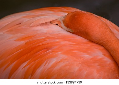 Closeup of a Pink Flamingo relaxing in the shade, it's neck turned backward with the beak tucked between the wings.