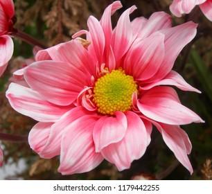 Closeup of pink flower.
