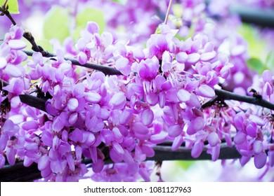 Closeup of pink flower clusters of an Eastern Redbud tree in full bloom. Judas tree or Cercis siliquastrum in spring