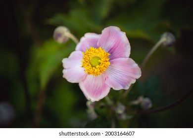 Nahaufnahme von rosafarbener Blume im Garten